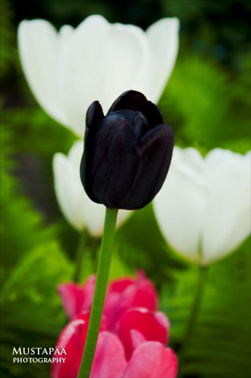 Musta tulppaani