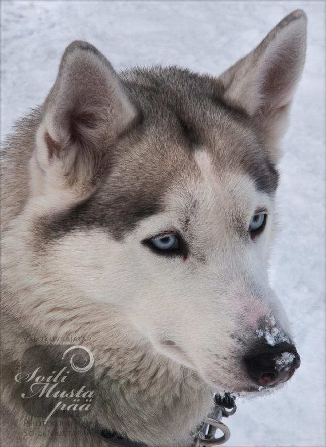Snow Nose, Siberian Husky.  Photo Soili Mustapää..